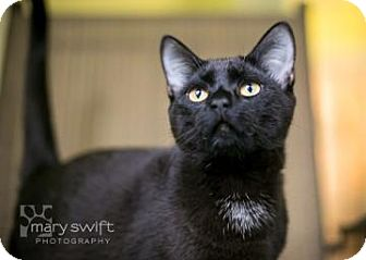 Domestic Shorthair Cat for adoption in Reisterstown, Maryland - Treasure