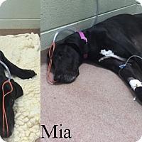 Adopt A Pet :: Roxy and Mia - York, PA