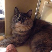 Calico Cat for adoption in El Dorado Hills, California - Lucy Lou