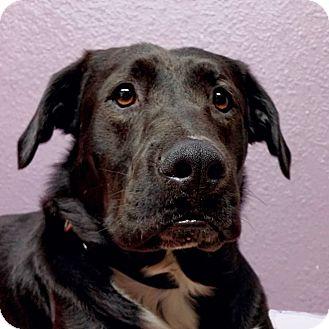 Labrador Retriever Mix Dog for adoption in Lisbon, Ohio - Blake- sponsored!
