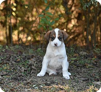 English Setter Mix Puppy for adoption in Groton, Massachusetts - Engy