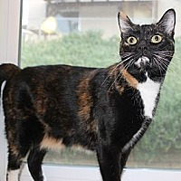 Calico Cat for adoption in Palmdale, California - Paris