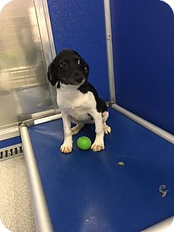 Terrier (Unknown Type, Medium) Mix Puppy for adoption in Cashiers, North Carolina - Lucy