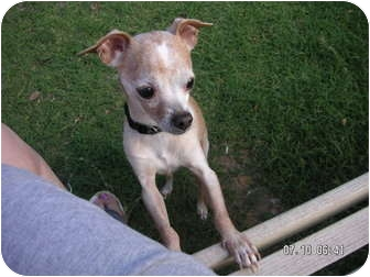 Chihuahua Dog for adoption in Phoenix, Arizona - STEVIE