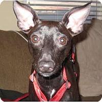 Adopt A Pet :: Arrow - Commerce City, CO