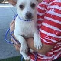 Adopt A Pet :: Bronson - Las Vegas, NV