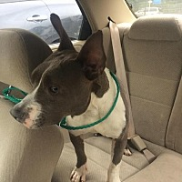 Pit Bull Terrier/Rat Terrier Mix Dog for adoption in Manhattan, New York - PeeWee
