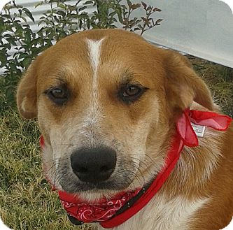 Australian Shepherd Mix Dog for adoption in Manhattan, Kansas - Eli