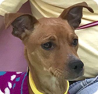 Miniature Pinscher Mix Dog for adoption in Evansville, Indiana - Zelda