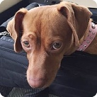Dachshund Mix Dog for adoption in Houston, Texas - Chrystal Campbell