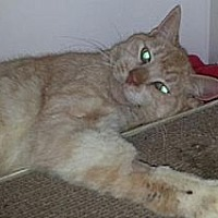 Domestic Shorthair Cat for adoption in Oviedo, Florida - Butternut