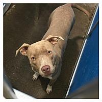 Adopt A Pet :: Gracie - McKinney, TX