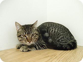 Domestic Mediumhair Kitten for adoption in Milwaukee, Wisconsin - Chuck