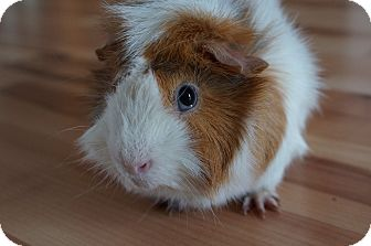 Guinea Pig for adoption in Brooklyn Park, Minnesota - Sam