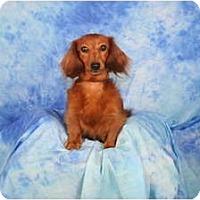 Adopt A Pet :: Autumn - Ft. Myers, FL