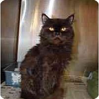 Adopt A Pet :: Sir Purr - Arlington, VA