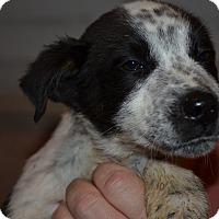 Adopt A Pet :: Zelda - Westminster, CO