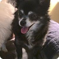 Adopt A Pet :: Lola - Edmond, OK