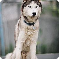 Adopt A Pet :: Koda - Portland, OR