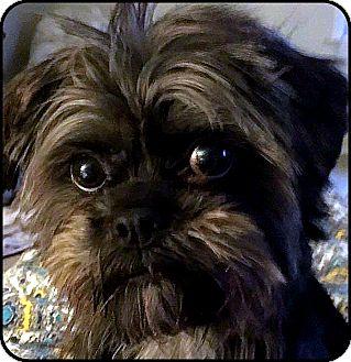 Affenpinscher Mix Dog for adoption in Seymour, Missouri - VIRGINIA in Linden, VA.