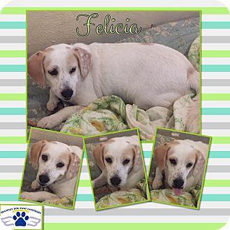 Clumber Spaniel Mix Dog for adoption in Folsom, Louisiana - Felicia
