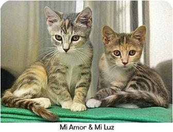 Domestic Shorthair Kitten for adoption in Huntington, New York - Mi Amor 2016172