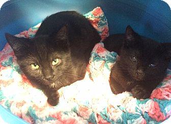 Domestic Shorthair Kitten for adoption in Greensburg, Pennsylvania - Kenobi