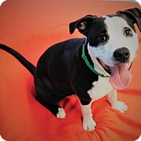 Pit Bull Terrier Mix Dog for adoption in Green Bay, Wisconsin - Pirate