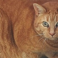 Adopt A Pet :: Orange Kitty - Houlton, ME