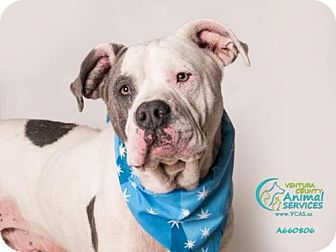 Pit Bull Terrier Dog for adoption in Camarillo, California - ROCKY