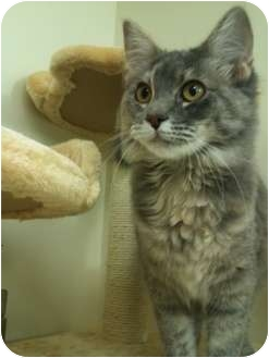 Domestic Shorthair Cat for adoption in St. Louis, Missouri - Lexi