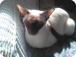 Siamese Cat for adoption in Fairborn, Ohio - SaraAnnette-Wauseon Cattery