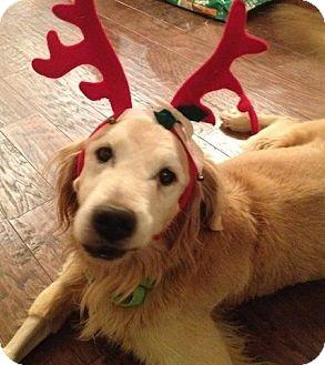 Golden Retriever Dog for adoption in Brattleboro, Vermont - Max
