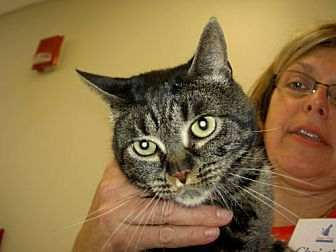 Domestic Mediumhair Cat for adoption in Madison, New Jersey - Fiona