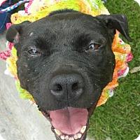 Adopt A Pet :: JUJU- FOSTER NEEDED - Birmingham, MI