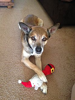 Terrier (Unknown Type, Small)/Shepherd (Unknown Type) Mix Dog for adoption in Phoenix, Arizona - Murphy