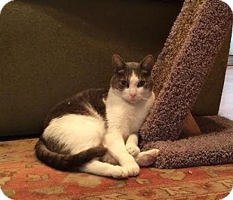 Domestic Shorthair Cat for adoption in Columbus, Ohio - Smudge