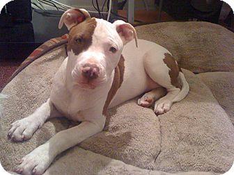 Pit Bull Terrier Mix Dog for adoption in New York, New York - DIAMOND