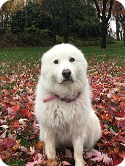 Great Pyrenees Dog for adoption in Kyle, Texas - Xena warrior Princess