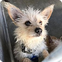Cairn Terrier Dog for adoption in Seattle, Washington - Puddin & Buttercup Kiki