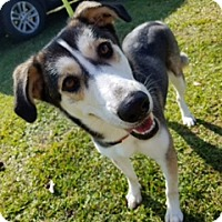 Husky Mix Dog for adoption in Thibodaux, Louisiana - Hope K92-9572