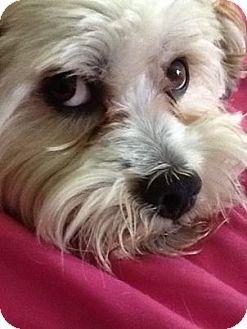 Lhasa Apso Mix Dog for adoption in Gig Harbor, Washington - Abe