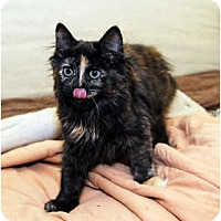 Adopt A Pet :: Cyan - Farmingdale, NY