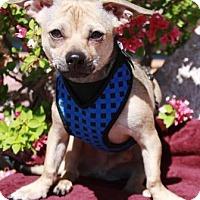 Adopt A Pet :: Curry - Gilbert, AZ