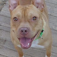 American Staffordshire Terrier Dog for adoption in Loganville, Georgia - Bosley