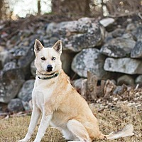 Labrador Retriever/Husky Mix Dog for adoption in Enfield, Connecticut - Bettie