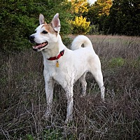 Adopt A Pet :: Miss Scout in Dallas - Austin, TX