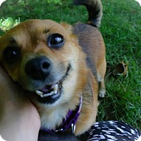 Adopt A Pet :: Foxy - Eugene, OR