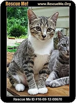 Domestic Shorthair Cat for adoption in Waldorf, Maryland - Jambi
