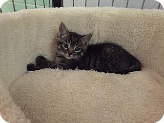 Domestic Shorthair Kitten for adoption in Monroe, New Jersey - Emma